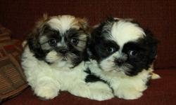 Adorable little Shih Tzu puppies! Only males left! Shih Tzu?s are small lap dogs that are highly social and love to be around their families. They are great with kids and make excellent family pets. These pups will mature around 12lbs fully grown; have