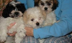 Ready to go their new homes! Very cute & playful - non shedding 3 males & 2 females, they are vet checked, have their 1st needles and come with a 1 year written health guarantee. Please call 905-945-8975 Sorry no e-mail ** we also have a male Shi Poo