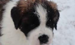 2 females and 3 male puppies for sale! Saint Bernards are known for their gentle temperament and social personalities! Pups are raised on a farm with kids; parents are great with other animals such as, chickens, cats, rabbits etc. Mother and father are