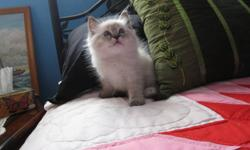 Beautiful TICA Registered Ragdoll Kittens. Kind complimentary references are available from our family Veterinarian & also from previous adoptees. Although all kittens are cute, one benifit to adopting a pedigreed Ragdoll kitten is, the adoptee can be