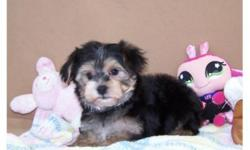 Very Cute Yorkie x Maltese male puppy, father is pure yorkshire terrrier 7lbs, and mother is Maltese 5lbs. He will mature to be about 7lbs, has been dewormed, and given first vaccination, puppy comes with health guarantee. He is a wonderful little guy,