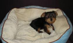 Tiny adorable Yorkshire Terriers puppies for sale. They are non shedding hypo allergenic. Have first set of shots, dew claws removed, tails docked. The last picture is the mom and dad. We are located in Edmonton for easy viewing. Please call 780 340 4388.