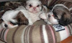 serious inquires only: shih tzu/bijon frise for sale. litter of 5 white brown and black. there are 3 male white and black and brown and 2 females brown and white. ready to go now.