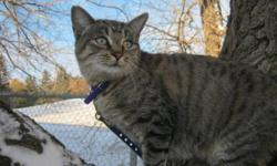 Breed: Manx   Age: Adult   Sex: F   Size: M Autumn is a beautiful, sweet Manx tabby. She is about 2 years old and loves attention. She is talkative, cuddly and would be a great companion for someone looking for a cuddlebug on their lap. Come and meet