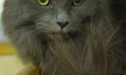 Breed: Domestic Medium Hair   Age: Adult   Sex: F   Size: M Dominika is full of personality. She is a little sweet heart who loves shoulder rides and to lick ears! She tolerates the other cats but LOVES to be around people. She is such a sweet