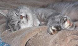Breed: Domestic Medium Hair - gray and white   Age: Adult   Sex: F   Size: M You get what you give! Karma is loving and affectionate and would like to have this in return! She is litter trained, clean, likes other cats and seems fine with dogs. She is