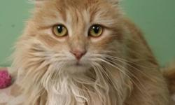 Breed: Domestic Medium Hair   Age: Adult   Sex: F   Size: M Halo is a three year old beauty (though she needs a groom!). She was found one day in the parking lot at a local bank begging for attention looking very hungry and some kind soul picked her up