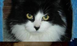 Breed: Domestic Medium Hair   Age: Adult   Sex: F   Size: M Primary Color: Black Secondary Color: White Age: 2yrs 5mths 4wks Animal has been Spayed   View this pet on Petfinder.com Contact: BC SPCA Cowichan & District Branch | Duncan, BC