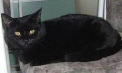 Breed: Domestic Short Hair-black   Age: Adult   Sex: F   Size: M Cleopatra is a beautiful all black female cat, born around January 2008. Cleopatra was abandoned in a box and left at somebody's front door. Cleopatra is a short hair cat with silky, shinny
