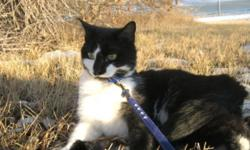 Breed: Domestic Short Hair-black and white   Age: Adult   Sex: F   Size: M Checkers was dropped off in front of the shelter one cold winter morning, in a kennel with a jacket covering it. She was pretty cold when I found her and pretty happy to get inside