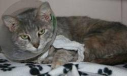 Breed: Domestic Short Hair-gray Tabby   Age: Adult   Sex: F   Size: M Natalie is a 3 year old grey and tri tabby DSH. Collar is in place to prevent stitches from being removed too soon.   View this pet on Petfinder.com Contact: Shelter of Hope Animal