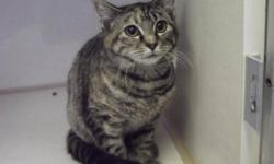 Breed: Domestic Short Hair-gray Tabby - Grey   Age: Adult   Sex: F   Size: M Amber came to the shelter as a stray trying to get out of the cold. Now that she is warmer you can definitely tell that she feels much better. She loves treats and loves to