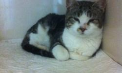 Breed: Domestic Short Hair - gray and white   Age: Adult   Sex: F   Size: M BABE - HER SHELTER GIVEN NAME, WAS FOUND ON NOVEMEBER 10, 2011 AROUND THE SCENIC DRIVE SOUTH CEMETARY. BABE LOOKS TO BE POSSIBLY PREGNANT. IF BABE'S OWNER'S DO NOT CLAIM HER BY