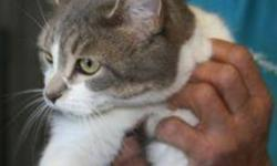 Breed: Domestic Short Hair - gray and white Tabby   Age: Adult   Sex: F   Size: M Gabby is a 2 year old grey and white DSH/tabby cross.   View this pet on Petfinder.com Contact: Shelter of Hope Animal Services | Cobourg, ON