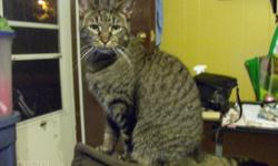 Breed: Domestic Short Hair Tabby - Grey   Age: Adult   Sex: F   Size: S Laverne and Shirley (yes, from the old t.v. show) are 2 sisters that were rescued The last picture is an older one of Laverne with Shirley on the couch when they were younger. Their