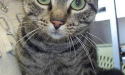 Breed: Domestic Short Hair Tabby - Grey   Age: Adult   Sex: F   Size: M I came to the shelter with 4 little kittens and now that they are weaned I can finally be adopted! I was a great mother and now I can be a great companion. I love to explore and find