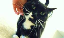 """Breed: Tuxedo   Age: Adult   Sex: F   Size: M This is Heidi and she is a gentle soul boarding for SCAT at Erindale Animal Hospital. Favourite staff Auntie says: """"When she first came to the clinic she was so shy that she would let you examine her by"""