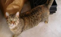 Breed: Tabby   Age: Adult   Sex: F   Size: S this girl has a unique face. she came in to our care in mid May of 2007 and has been patiently waiting for her own home she is a very friendly girl. she is good with other cats. she was found near walkerton