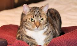 """Breed: Tabby - Brown Tabby - white   Age: Adult   Sex: F   Size: M Date of Birth May 25, 2006 Isabel is very playful and gets along well with other cats. """"Izzy"""" has exquisite marble markings and is a real beauty. She is a bit shy, but loving"""