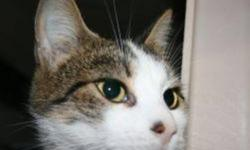 Breed: Tabby Domestic Short Hair-white   Age: Adult   Sex: F   Size: M AnnaBell is a 2 year old tabby and white DSH.   View this pet on Petfinder.com Contact: Shelter of Hope Animal Services | Cobourg, ON