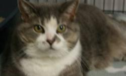 Breed: Tabby - Grey Domestic Short Hair-white   Age: Adult   Sex: F   Size: L Kitsa is a seven year old grey tabby and white DSH. She is a very content cat.   View this pet on Petfinder.com Contact: Shelter of Hope Animal Services   Cobourg, ON