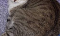 Breed: Tabby - white   Age: Adult   Sex: F   Size: M Miss May is a 4 year old spayed female. Miss May came in April 2009. She is full of personality and very playful. She would do well in a home with no small children as she likes to nip and can play
