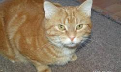 Breed: Tabby - Orange   Age: Adult   Sex: F   Size: S Bethany is a very sweet little girl who comes running when her foster Auntie calls her. She comes running doesn`t matter if you are calling someone else. She loves attention. Loves brushing. Especially
