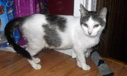"""Breed: Tabby - white   Age: Adult   Sex: F   Size: M DSH Brown tabby and white female; DOB: November 2006 We can't imagine what it was like for Sweet Marie to be scheduled to die along with her kittens - simply because the shelter was """"too full"""". Sweet"""