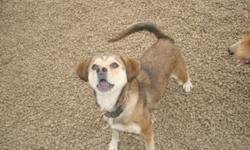 Breed: Beagle Pug   Age: Adult   Sex: F   Size: M I am very new. So far love people!! Keep checking for updates. Hi my name is Pixie. I am a very cute, energetic young girl. I seem to do alright on a leash, once we get going. One thing I love is TREATS! I