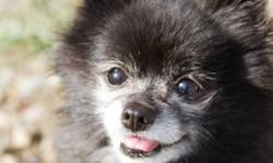 Breed: Pomeranian   Age: Adult   Sex: F   Size: S Bella is a 10 year old Pomeranian. She is a pretty easy dog to live with. She loves to cuddle on the couch and doesn't make a peep when in the kennel at night or when her foster mom has to go out.