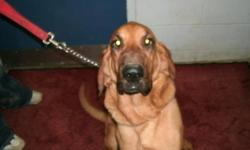 Breed: Bloodhound   Age: Adult   Sex: F   Size: L FOSTER OR FOREVER HOME NEEDED! Stephanie and Cody (who you can see on our website) lost their home through no fault of their own. Unfortunately their previous owner lost his home and is living in his van