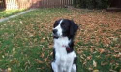 Breed: Border Collie Spaniel   Age: Adult   Sex: F   Size: L Lexi is 1.5 year old dog. Shes a sweet girl who wants nothing more than to make you happy. Being a border collie (cross) she is a higher energy dog and will need a family with space and a job