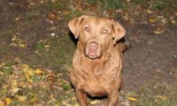 """Breed: Chesapeake Bay Retriever   Age: Adult   Sex: F   Size: L """"SHELLEY"""" was found as a stray by a couple of hunters. Very sweet girl, does well with other non dominant dogs, cats good. Vet estimates her age to be between 3-5 yrs old.   View this pet on"""