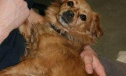Breed: Chihuahua Pomeranian   Age: Adult   Sex: F   Size: S Sisco is a 6 year old Chihuahua/Pomeranian cross amd is 6 years old. She is red in colour.   View this pet on Petfinder.com Contact: Shelter of Hope Animal Services | Cobourg, ON