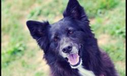 Breed: Husky Border Collie   Age: Adult   Sex: F   Size: M Milo is friendly but gets a bit growly around certain dogs. She is 5 1/2 years old and will need someone who is willing to brush her regularly. She is a Border Collie mix so she has lots of energy
