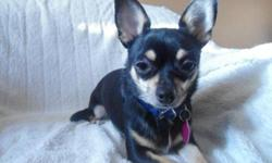 Breed: Chihuahua   Age: Adult   Sex: F   Size: S Kiki was born May 2009. She is a quiet Chihuahua who could live in an apartment. She is great with the other foster dogs and get along great with kids. When meeting new people she needs time to warm up to