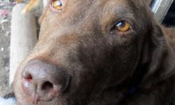 Breed: Labrador Retriever Chesapeake Bay Retriever   Age: Adult   Sex: F   Size: M BELLE: Lab/Retreiver, brown, spayed female, 6 years Belle is a Chesapeake but has a mellow personality with the soul of a labrador retriever. She wants a home where she can