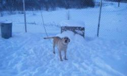 Breed: Labrador Retriever Golden Retriever   Age: Adult   Sex: F   Size: L We have a brother and sister retriever duo coming to Yellowknife soon from Inuvik. They are young adults. We will ahve more information on them when they get here. If you are