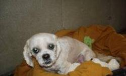 Breed: Lhasa Apso Shih Tzu   Age: Adult   Sex: F   Size: S Hi there my name is Bell. I am a lhasa apso shitzu X. I am three years old and very friendly. I am very new so keep checking for updates! Well! Why am i still here? I am beyond cute, housetrained