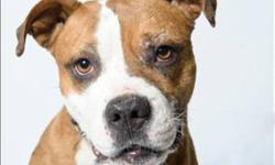 """Breed: Pit Bull Terrier Boxer   Age: Adult   Sex: F   Size: M Fawn is our """"maybelline eyeliner cover girl""""... she is an active 6-7yr old pitbull female, active, playful,m affectionate, and adores people. She had her """"boyfriends"""" here but would be best"""