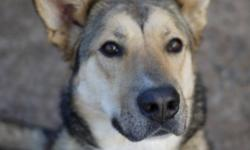 Breed: Shepherd Husky   Age: Adult   Sex: F   Size: M This pretty girl hasn't had much luck in her short life. Shiloh came to us when her original owners, despite loving her very much, realized they could no longer take care of her. She was adopted