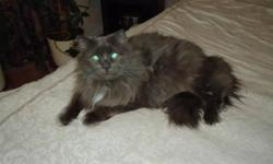 Breed: Persian   Age: Adult   Sex: M   Size: L   View this pet on Petfinder.com Contact: Maria's Animal Rescue and Adoptions | Burlington, ON