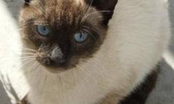Breed: Siamese   Age: Adult   Sex: M   Size: M Chai was found in the ditch out in the country, wet and cold and somewhat thin. He was picked up by a concerned citizen and brought to the shelter for safety and to help find him a home. He appears to be a