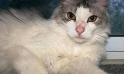 Breed: Domestic Long Hair - gray and white   Age: Adult   Sex: M   Size: L Though these cats free roam with each other within an insulated shelter with heat and electricity - they would love to live in a home environment while they await their forever