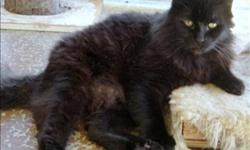 Breed: Domestic Medium Hair   Age: Adult   Sex: M   Size: M Primary Color: Black Age: 8yrs 0mths 0wks Animal has been Neutered   View this pet on Petfinder.com Contact: BC SPCA Cowichan & District Branch | Duncan, BC