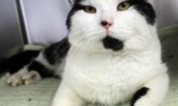 """Breed: Domestic Short Hair   Age: Adult   Sex: M   Size: M The origin of the name Carl is from old German meaning """"free man"""". Carl the Handsome was found as a stray in Dartmouth and is now at the shelter awaiting his new forever family. Carl"""