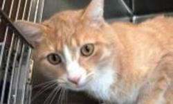 Breed: Domestic Short Hair - orange and white   Age: Adult   Sex: M   Size: M Tanner was surrendered to the shelter, his previous owners had brought him into their home as a wild cat that they wanted to tame. Unfortunately they weren't able to finish