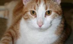 Breed: Domestic Short Hair - orange and white   Age: Adult   Sex: M   Size: M Though these cats free roam with each other within an insulated shelter with heat and electricity - they would love to live in a home environment while they await their forever