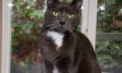 Breed: Domestic Short Hair   Age: Adult   Sex: M   Size: L Leland longs to be the only cat in a loving home with a family of his own. He was abandoned by his owners at a vet clinic several months ago and is presently living at the RAPS Cat Sanctuary.