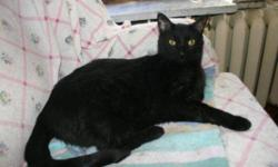 Breed: Domestic Short Hair-black   Age: Adult   Sex: M   Size: L Phantom 2 1/2 years old. Phantom is a goofy gentle giant and a regal panther. He is very athletic and an affectionate boy. He is an amazing mouser who loves to play 'chase' with his toys. He